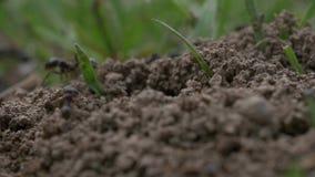 Μακρο βίντεο μυρμηγκιών απόθεμα βίντεο