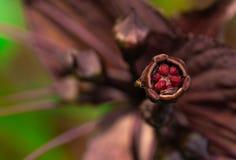 Μακρο βλασταημένη λεπτομέρεια του εντόμου στη σκοτεινή πορφυρή γύρη λουλουδιών Γονιμοποίηση από το έντομο στη δασική άγρια φύση ζ στοκ εικόνα