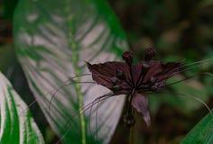 Μακρο βλασταημένη λεπτομέρεια του εξωτικού σκοτεινού πορφυρού λουλουδιού στο τροπικό δασικό εξωτικό λουλούδι με τα πράσινα φύλλα  στοκ φωτογραφία με δικαίωμα ελεύθερης χρήσης