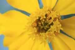 Μακρο βλασταημένο κίτρινο λουλούδι για το υπόβαθρο στοκ εικόνα με δικαίωμα ελεύθερης χρήσης