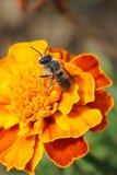 Μακρο γκρίζο ριγωτό καυκάσιο rotundata Megachile υμενόπτερων μελισσών στοκ εικόνα
