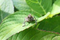 Μακρο εικόνα διαφορικό Grasshopper στο πράσινο φύλλο στοκ εικόνα