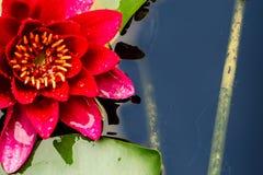 Μακρο εικόνα του κίτρινου νερού Lilly Στοκ εικόνες με δικαίωμα ελεύθερης χρήσης