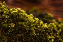 Μακρο εικόνα του πράσινου βρύου στο δασικό έδαφος στοκ εικόνες με δικαίωμα ελεύθερης χρήσης