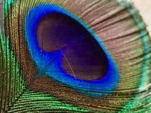 Μακρο εικόνα του φτερού peacock Στοκ Εικόνες
