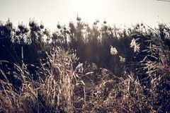 Μακρο εικόνα των άγριων χλοών, μικρό βάθος του τομέα Εκλεκτής ποιότητας επίδραση Όμορφες αγροτικές άγριες χλόες φύσης στο χρυσό θ στοκ εικόνα