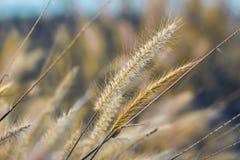 Μακρο εικόνα των άγριων χλοών, μικρό βάθος του τομέα Εκλεκτής ποιότητας επίδραση Όμορφες αγροτικές άγριες χλόες φύσης στο χρυσό θ στοκ φωτογραφία με δικαίωμα ελεύθερης χρήσης