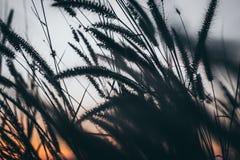 Μακρο εικόνα των άγριων χλοών, μικρό βάθος του τομέα Εκλεκτής ποιότητας επίδραση Όμορφες αγροτικές άγριες χλόες φύσης στο χρυσό θ στοκ εικόνα με δικαίωμα ελεύθερης χρήσης