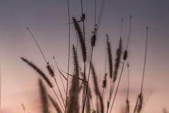 Μακρο εικόνα των άγριων χλοών, μικρό βάθος του τομέα Εκλεκτής ποιότητας επίδραση Όμορφες αγροτικές άγριες χλόες φύσης στο χρυσό θ στοκ εικόνες
