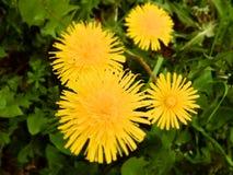 Μακρο εικόνα των κίτρινων λουλουδιών πικραλίδων στοκ φωτογραφία με δικαίωμα ελεύθερης χρήσης