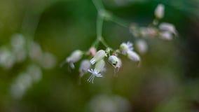 Μακρο εικόνα των όμορφων λουλουδιών της λυχνίδας κύστεων στοκ φωτογραφία