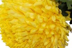 Μακρο ενιαίο κίτρινο Marigold Στοκ Εικόνες