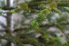 Μακρο εποχή Χριστουγέννων κλάδων πεύκων Στοκ εικόνες με δικαίωμα ελεύθερης χρήσης