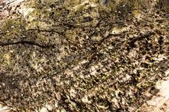 Μακρο λεπτομέρεια των οστρακόδερμων στο ξύλινο υπόβαθρο τέλειο για το σχέδιο, ιστοχώρος, Στοκ Εικόνα