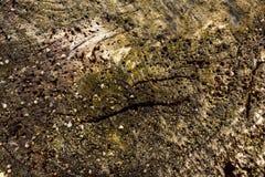 Μακρο λεπτομέρεια των οστρακόδερμων στο ξύλινο υπόβαθρο τέλειο για το σχέδιο, ιστοχώρος, Στοκ εικόνες με δικαίωμα ελεύθερης χρήσης
