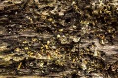 Μακρο λεπτομέρεια των οστρακόδερμων στο ξύλινο υπόβαθρο τέλειο για το σχέδιο, ιστοχώρος, Στοκ Εικόνες