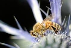 Μακρο εστίαση μιας μέλισσας μελιού Στοκ εικόνα με δικαίωμα ελεύθερης χρήσης