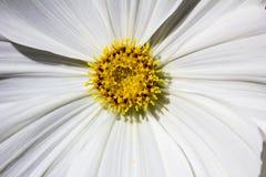 1 μακρο λευκό αστέρων Στοκ φωτογραφίες με δικαίωμα ελεύθερης χρήσης
