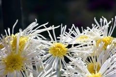 1 μακρο λευκό αστέρων Στοκ Εικόνα