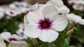 Μακρο λευκό πορφυρό κέντρο λουλουδιών Στοκ Εικόνες