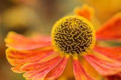 Μακρο θερινό λουλούδι Rudbeckia Hirta της Susan εικόνας μαύρο Eyed Στοκ Φωτογραφίες