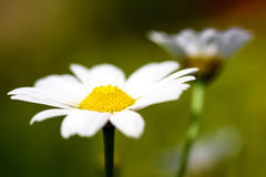Μακρο θολωμένα λουλούδι υπόβαθρο & x28 της Daisy marguerite& x29  στοκ φωτογραφίες