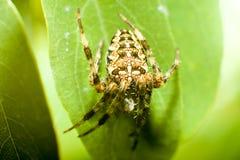 Μακρο διαγώνια αράχνη στα πράσινα φύλλα Στοκ φωτογραφία με δικαίωμα ελεύθερης χρήσης