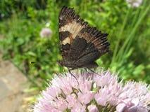 Μακρο καφετιά πεταλούδα στο λουλούδι Στοκ Εικόνες