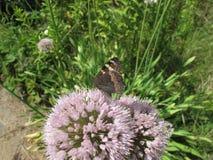 Μακρο καφετιά πεταλούδα στο λουλούδι Στοκ Εικόνα