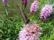 Μακρο καφετιά πεταλούδα στο λουλούδι Στοκ φωτογραφία με δικαίωμα ελεύθερης χρήσης