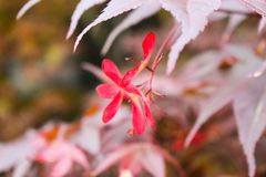 Μακρο κινηματογράφηση σε πρώτο πλάνο εντυπωσιακά ερυθρά κόκκινα λουλούδια του formosissima Sprekelia ή του των Αζτέκων ιακωβιανού στοκ εικόνες με δικαίωμα ελεύθερης χρήσης