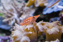 Μακρο κινηματογράφηση σε πρώτο πλάνο ενός μακριού ψαριού γερακιών μύτης, ένα πολύ μικροσκοπικό τροπικό ψάρι από τον Ινδικό Ωκεανό στοκ φωτογραφία