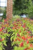 Μακρο κινηματογράφηση σε πρώτο πλάνο των σειρών των κόκκινων και πορφυρών καυτών πιπεριών που αυξάνονται στον κήπο Στοκ φωτογραφία με δικαίωμα ελεύθερης χρήσης