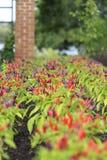 Μακρο κινηματογράφηση σε πρώτο πλάνο των σειρών των κόκκινων και πορφυρών καυτών πιπεριών που αυξάνονται στον κήπο Στοκ Φωτογραφία