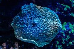 Μακρο κοράλλι sarcophyton στοκ εικόνες