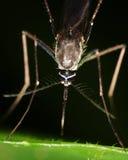 μακρο κουνούπι Στοκ φωτογραφία με δικαίωμα ελεύθερης χρήσης