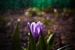 Μακρο κρόκος στη βροχή Στοκ φωτογραφία με δικαίωμα ελεύθερης χρήσης