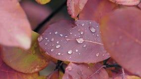 Μακρο κόκκινα φύλλα με τις πτώσεις νερού στο δάσος φθινοπώρου μετά από τη βροχή απόθεμα βίντεο
