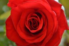 μακρο κόκκινος αυξήθηκε στο θερινό κήπο στοκ φωτογραφία με δικαίωμα ελεύθερης χρήσης