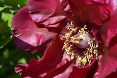 Μακρο κόκκινο κινεζικό peony λουλούδι Στοκ Εικόνα