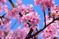 Μακρο κλάδος ανθών κερασιών υποβάθρου ιαπωνικός ρόδινος Στοκ Εικόνα