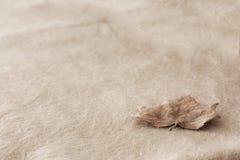 Μακρο λεπτομέρεια ενός ενιαίου καφετιού φύλλου φθινοπώρου στο υπόβαθρο κρέμας στοκ φωτογραφίες