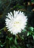 1 μακρο λευκό αστέρων στοκ εικόνες με δικαίωμα ελεύθερης χρήσης
