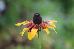 Μακρο λουλούδι από τις Αζόρες στοκ εικόνα