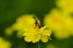 Μακρο μέλισσα μελιού Στοκ φωτογραφία με δικαίωμα ελεύθερης χρήσης