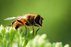 Μακρο μέλισσα στοκ εικόνα με δικαίωμα ελεύθερης χρήσης