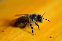 Μακρο μέλισσα Στοκ Εικόνες
