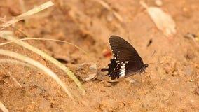 Μακρο μήκος σε πόδηα HD πεταλούδων Swallowtail Spicebush απόθεμα βίντεο