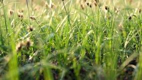 Μακρο μήκος σε πόδηα της πράσινης χλόης ανοίξεων στον αέρα φιλμ μικρού μήκους