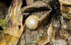 Μακρο μίνι καφετί Snaile στο πάτωμα Στοκ φωτογραφίες με δικαίωμα ελεύθερης χρήσης